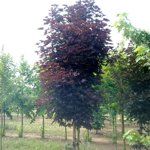 Trees for small gardens from green mile trees green mile trees for Small narrow trees for gardens