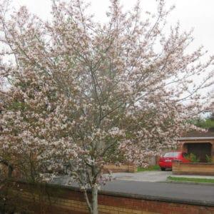 Amelanchier grandiflora Robin Hill