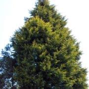 Cupressocyparis leylandii: Leyland cypress