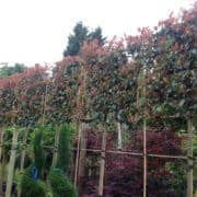 Photinia red robin pleached
