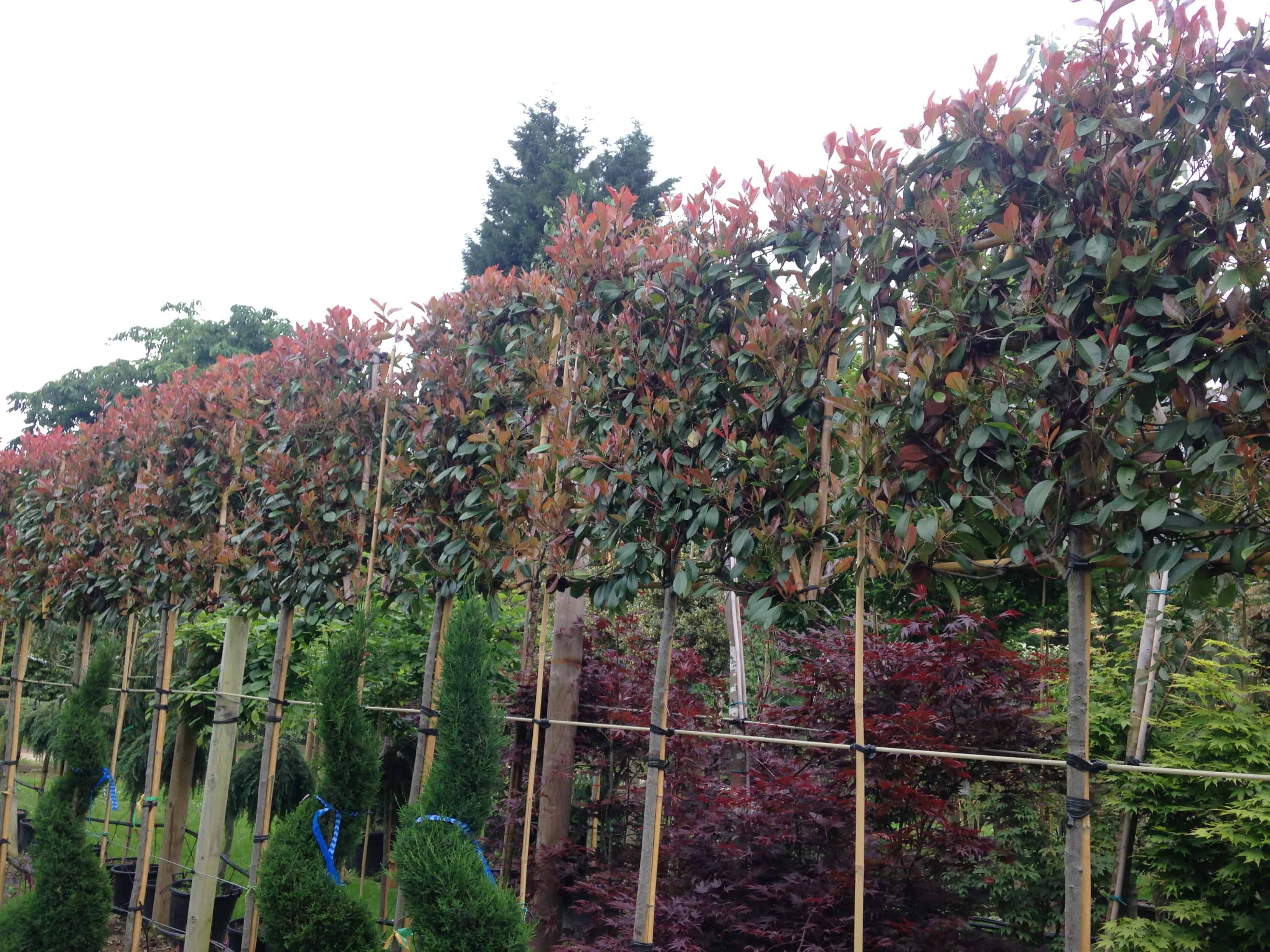 Photinia red robin pleached green mile trees green mile for Purchase trees