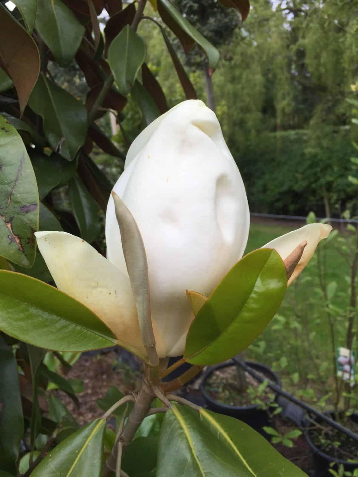 Magnolia grandiflora green mile trees green mile trees - Magnolia grandiflora ...