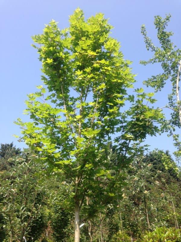Acer Campestre Elsrijk Green Mile Trees Green Mile Trees