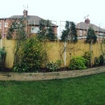 Pleached Holly