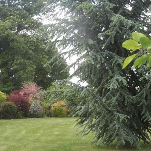 California Christmas Tree Cedrus Deodara: Conifers At Green Mile Trees Green Mile Trees
