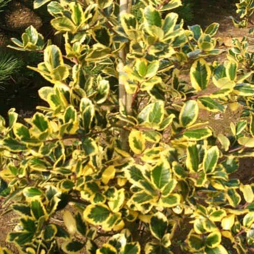 ilex altaclarensis golden king green mile trees green. Black Bedroom Furniture Sets. Home Design Ideas