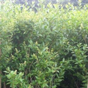Ligustrum ovalifolium - Green privet