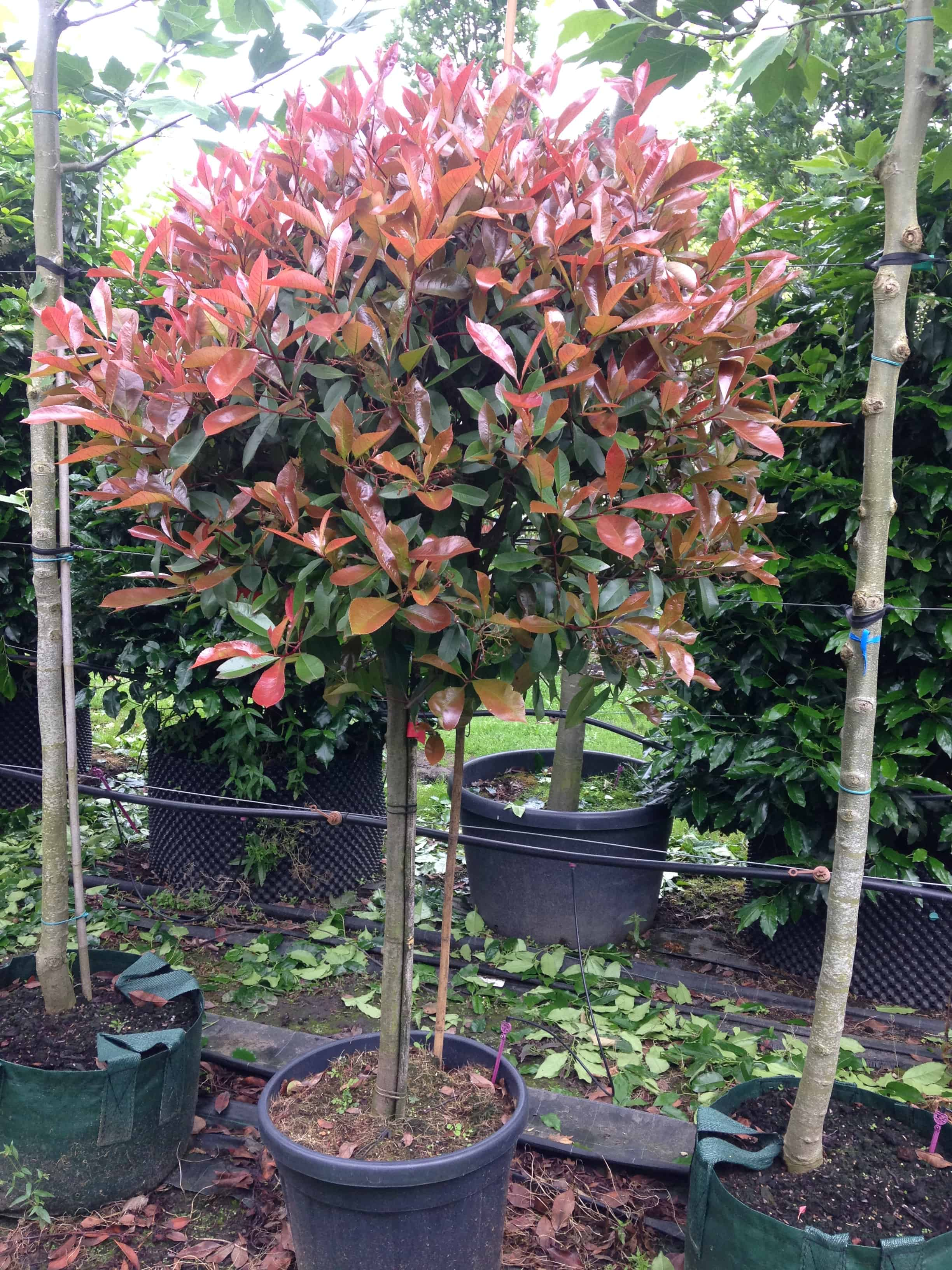 photinia red robin green mile trees green mile trees. Black Bedroom Furniture Sets. Home Design Ideas