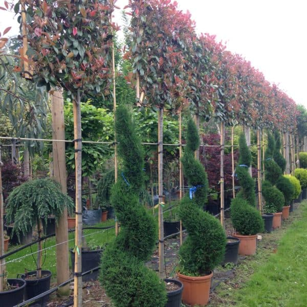 photinia red robin pleached green mile trees green mile trees. Black Bedroom Furniture Sets. Home Design Ideas