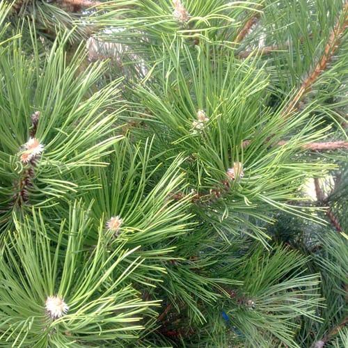 Pinus nigra maritima or laricio