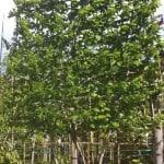 Pleached Tree
