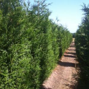 Thuja Plicata - Western red cedar