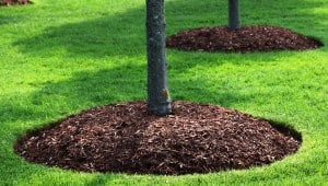 tree-mulched