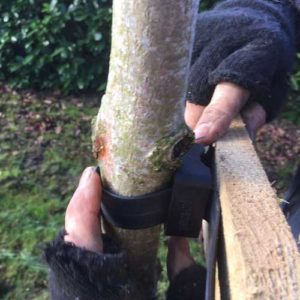 Tree Staking 7