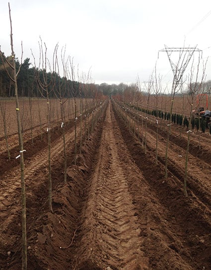 Tree planting in perfect alignment