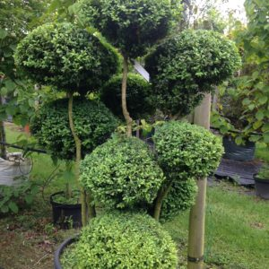 Buxus cloud