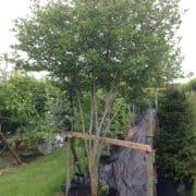 Crataegus prunifolia umbrella