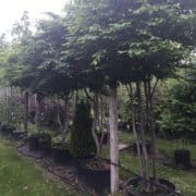 Carpinus umbrella