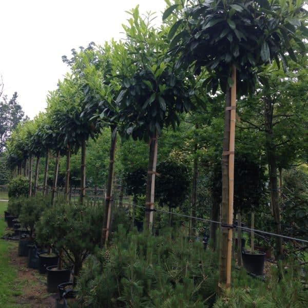 Prunus laurocerasus Standard