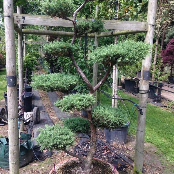 Topiary Pines