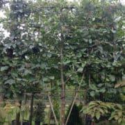 Sorbus whitebeam pleached