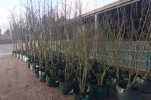 Potting Green Mile Trees