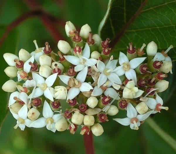 Cornus Sibirica