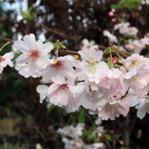 Prunus_subhirtella_Autumnalis