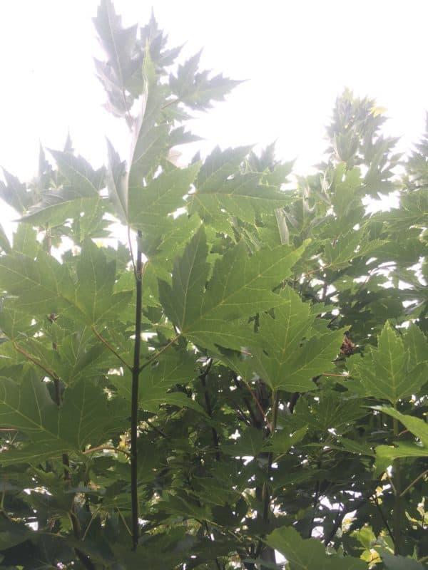 Acer campestre elegant