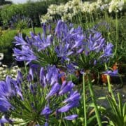 Agapanthus purple and white