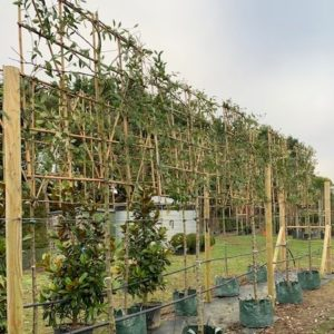 Pleached Cotoneaster for screening and privacy