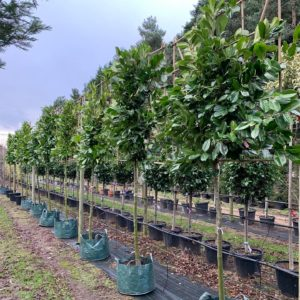 Pleached laurels for screening and privacy