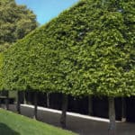 Pleached Hornbeam for screening