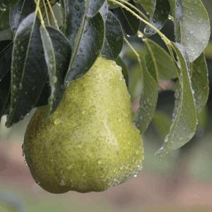 Williams-Pear