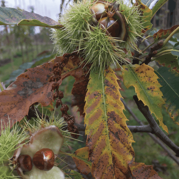 castanea-sativa1