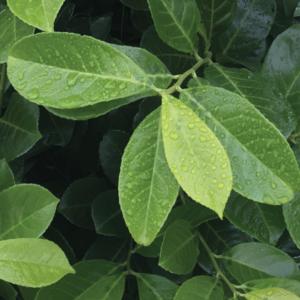 Prunus laurocerasus hedging